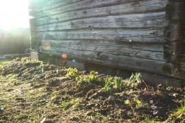 Hirsimökin vierelle istutettiin monia toivottavasti komeita kukkia -kesällä ihmetellään sitten millainen tuli!