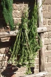 Siankärsämö- ja tilliniput  kuivumassa vanhoilla puutikkailla