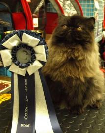 """""""-Minä voitin!!"""" tuntuu hihkuvan Best In Show palkinnon voittanut kaunis persialaiskissa"""