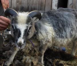 3kk ikäinen komeasarvinen Elvarkin tutustui surisevaan keritsemiskoneeseen