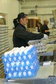 Hyvässä kasvuvauhdissa olevassa Munaxissa pakataan kananmunia kahdessa vuorossa. Pakkaamossa työskentelivät maanantain aamuvuorossa muun muassa Dana Stefan, Orinta Uniene ja Dobre Prima. Kuva: Solina Saarikoski