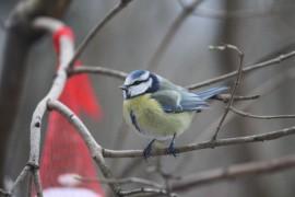Sinitiainen on vilkas lintu, joka viihtyy ruokintapaikalla.
