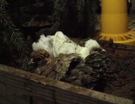 Kaksi kana pörhentelee turvelaatikossa kuristen. Kylpeminen on kanoille mieluisaa puuhaa!