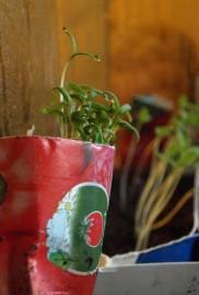 Innokkaimmat taimet nousevat välittämättä siitä, onko niitä istutettu vai ei!