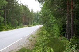 Viime kalenterivuonna Laitilan seudun riistanhoitoyhdistyksen alueella Laitilassa, Pyhärannassa ja Kodisjoella oli 83 hirvieläinonnettomuutta. Niistä suurin osa oli peura- ja kauriskolareita. Kuva Varhokyläntieltä. Kuva: Ville Juuti