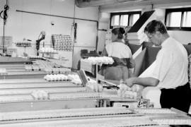 Tämän viikon ajan on Laitila-Munan   pakkaamon läpi kulkeneista munista maksettu tuottajille noin 1,50 markkaa enemmän kilolta kuin   viime viikolla. Laitilan Sanomat 18.8.1995