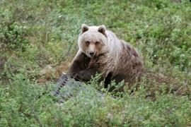 Untamalan karhusta ei ole havaintoja viimeisen viikon ajalta. Kuvan karhu ei liity tapaukseen.