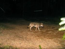 Laitilan keskustassa on nähty sutta muistuttava eläin. Kuvan susi ei liity tapaukseen.