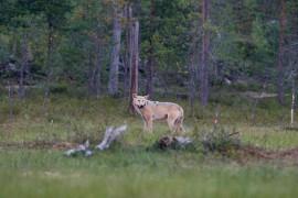 Laitilan keskustassa viime keskiviikkona nähty susi oli eksyksissä. Kuva: Esko Inberg