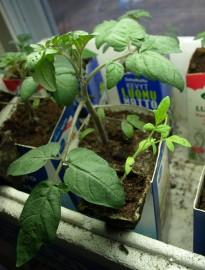 Vertailussa luonnonvalossa ja kasvilampun alla kasvaneet tomaatintaimet. Vaaleampi pikkutaimi on saman ikäinen ikkunalla kasvanut, iso taimi on lampun alta.
