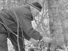 Heikki Juselius kerää koivunmahlaa talteen. Laitilan Sanomat 3.5.1996