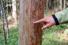 Nimensä tuholainen on saanut kuusen runkoon kovertamistaan urista, jotka muistuttavat vanhaa kohopainolaattaa. Kuva: Juhani Marttala