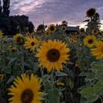 räpsy auringonkukat